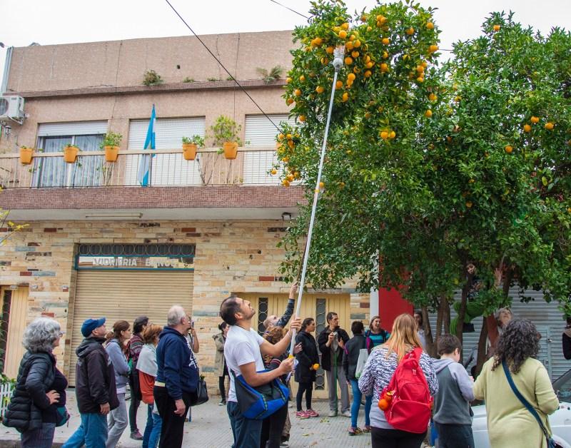 Más a mano imposible, así de accesibles están los nísperos en las calles de Buenos Aires