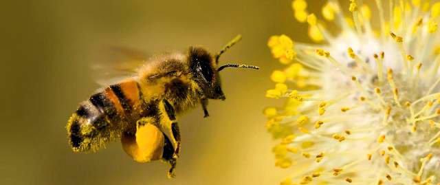Las abejas están desapareciendo vertiginosamente.