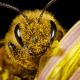 Salvar a las abejas, prioridad de la humanidad