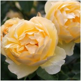 Rosen (4) in Planten un Blomen | 365tageasatzaday