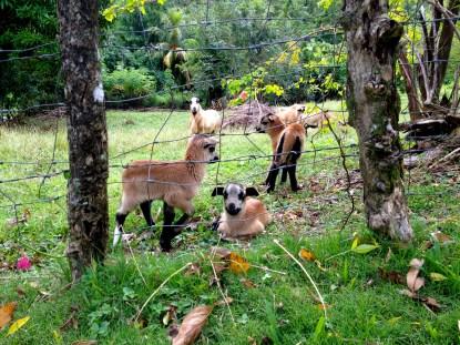 goats_france_martinique.jpg