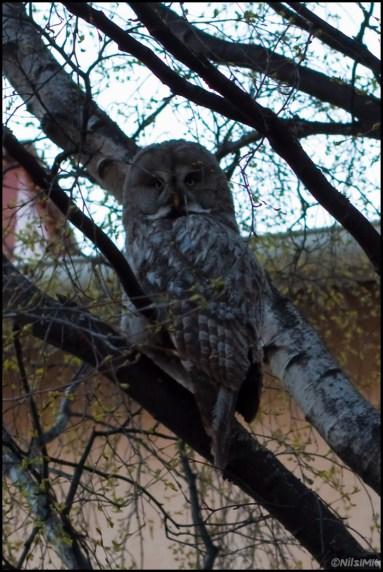 a.k.a. Great Grey Owl
