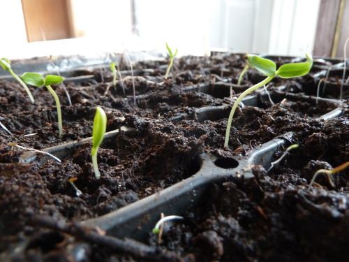 pimento peppers sprouting!