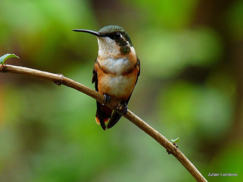 animals-animals-animals: White-bellied Woodstar (Chaetocercus mulsant) (by julian londono)
