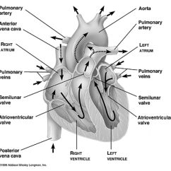Coronary Arteries Diagram Branches Guitar Wiring No Pots The Adrenal Heart Connection Weston A Price Foundation