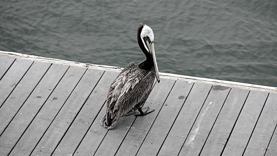 Pelican, a long-beaked saltwater chicken