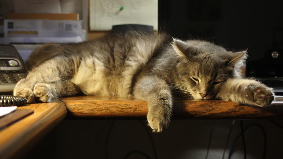 An Office Cat