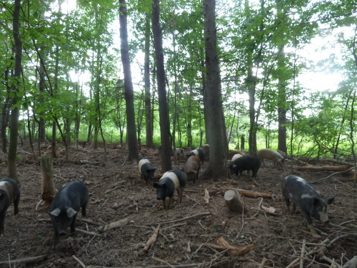 "Our ""Pig Park"", where the piggles stay cool in the shade"