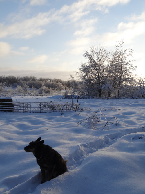Little Blue in the 3 degree morning, he followed me around this morning doing chores. Heelers are so devoted.