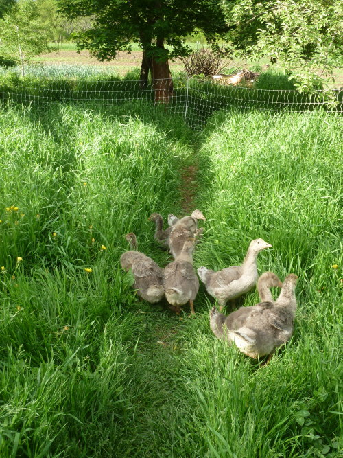 the oldest goslings are nearly full size! the garden is nearly all in! where's the time going?