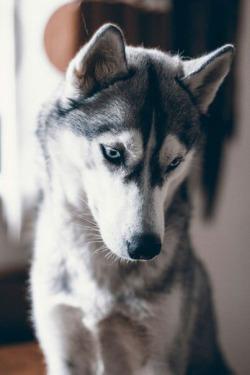 Cute Husky Puppies With Blue Eyes Wallpaper Dog Pretty Cute Husky White Blue Eyes Beatiful Vertical