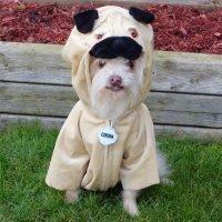 pug costume on Tumblr