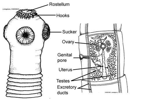 human fucking parasitology
