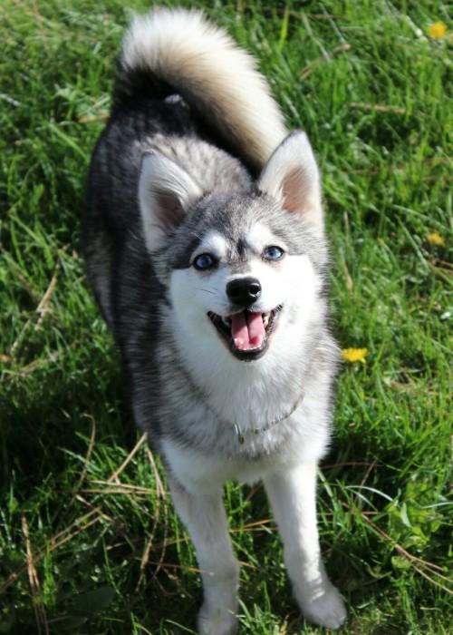 cute wolf husky puppy