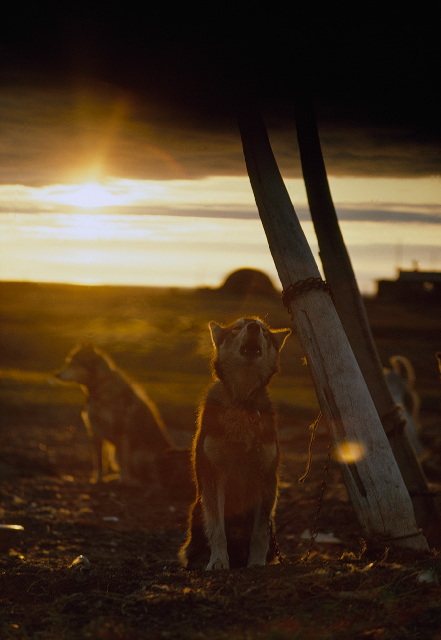 A sled dog, tied to a whale rib, howls under the midnight sun in Alaska, 1969.Photograph by Thomas J. Abercrombie, National Geographic Creative