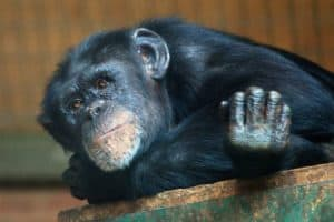 Your Cells Look Young for Their Age, Compared to a Chimp's