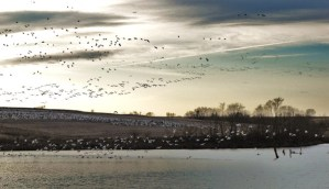 Canadians and Snow Geese in Nebraska