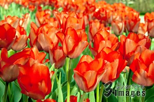 Interesting and Fun Facts about Tulips
