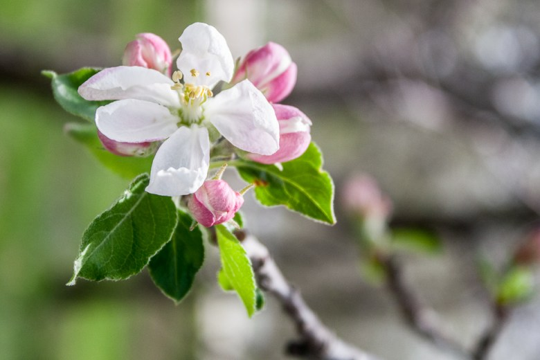 Apple blossoms at Arbor Day Lodge in Nebraska City