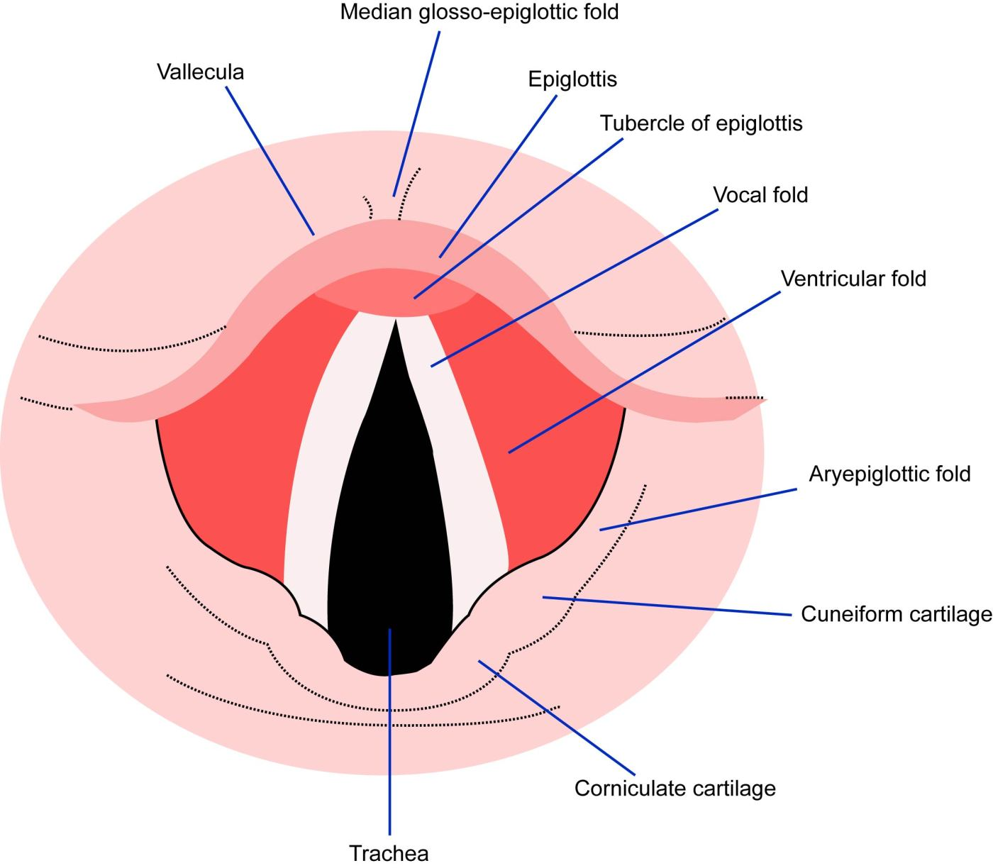 vocal fold diagram [ 1400 x 1225 Pixel ]