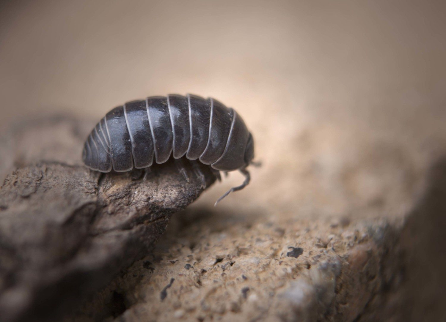 Roly Polies Aren T Actually Bugs But Crustaceans