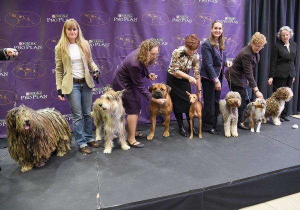 Male Dogs Win Westminster Dog Show