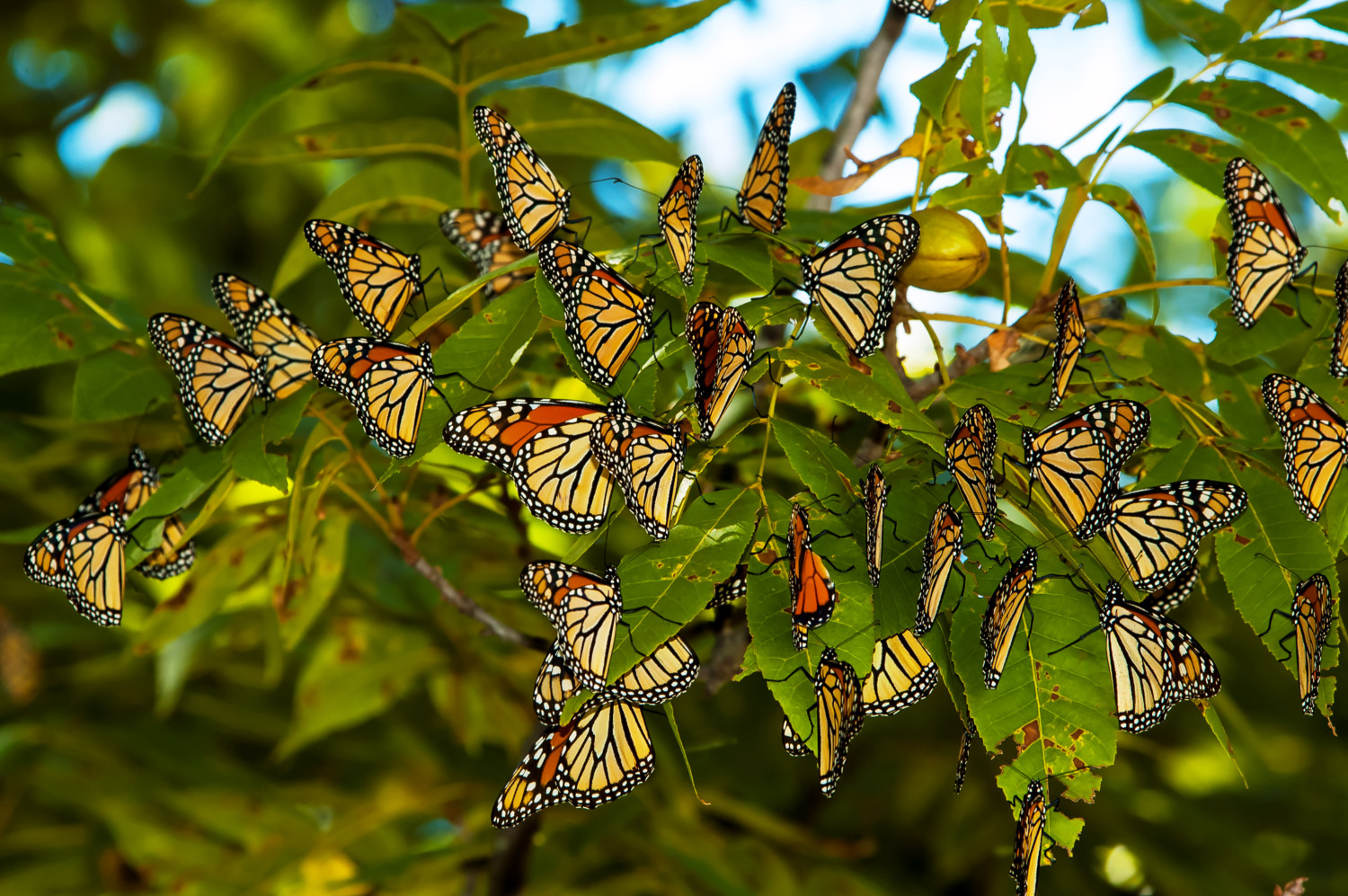 Monarch Butterfly Migration Seems Larger Than Normal