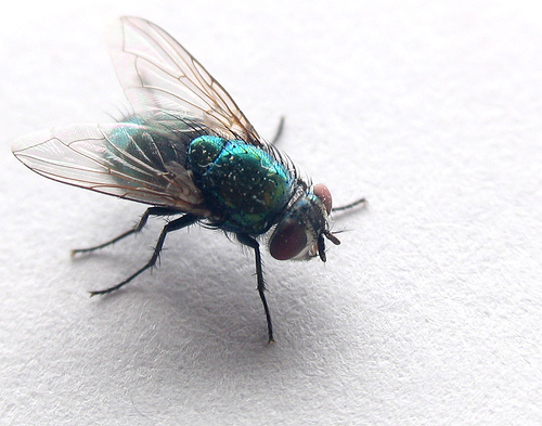 flies photo
