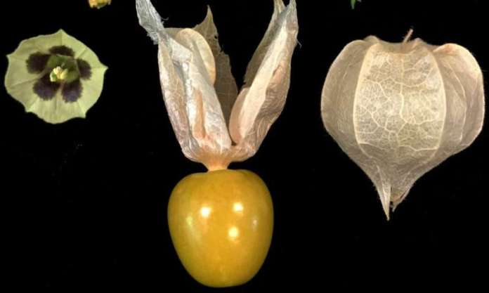 Esta planta silvestre podría ser la próxima fresa.