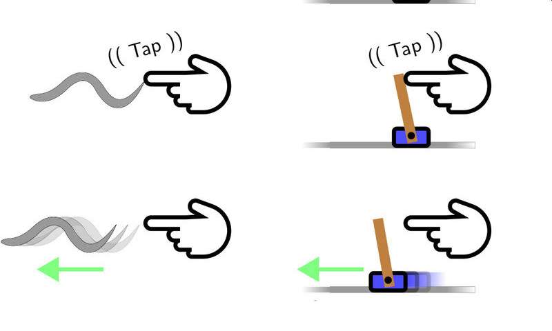 Worm uploaded to a computer and trained to balance a pole
