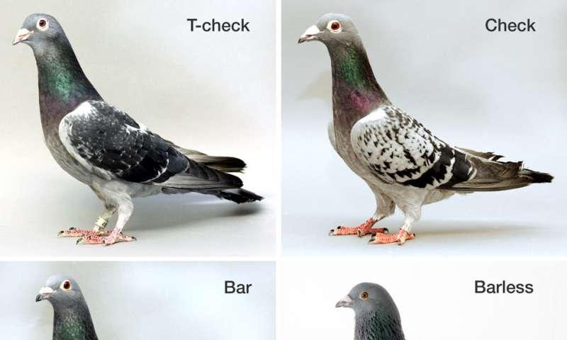 Variaciones de un solo gen impulsan diversos patrones de plumas de ...