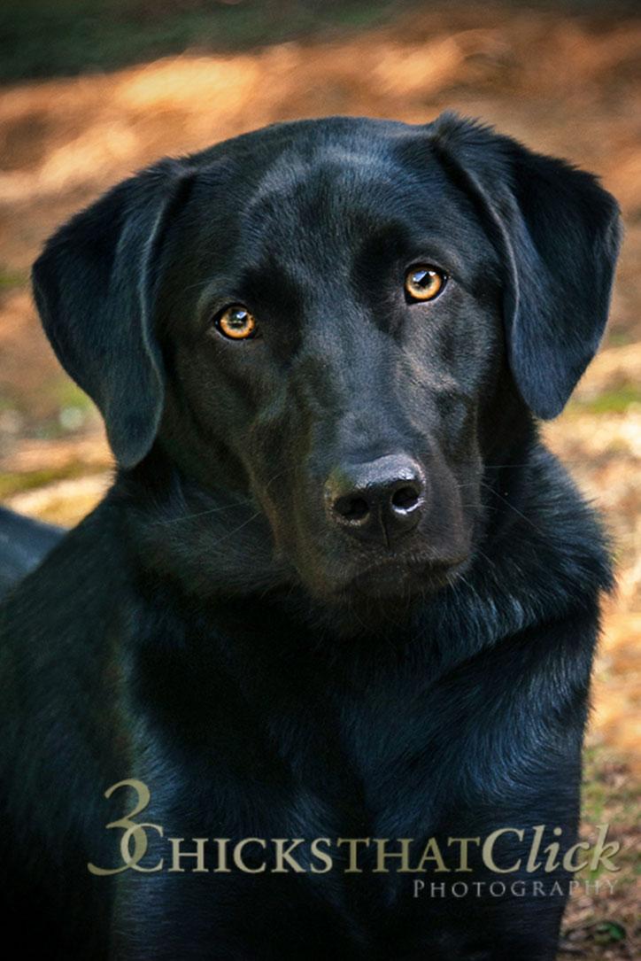Photo of black Labrador dog
