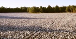 slave life cotton-field-P