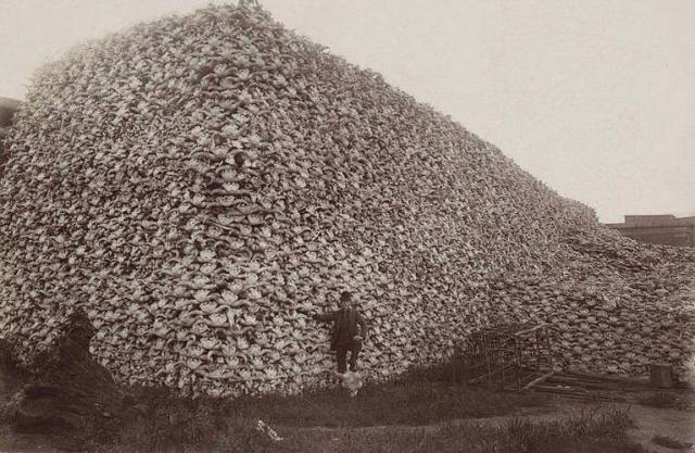 Bison skulls-1870's