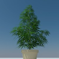 Cannabis Sativa 3D Model