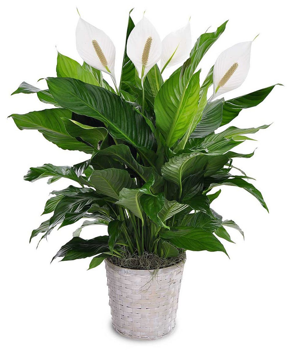 Peace Lily-3d rendering