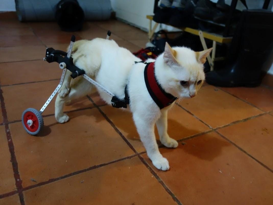 wheelchair for cats adams adirondack stacking chair in banana paralyzed kitten walks again thanks to a 3d printed