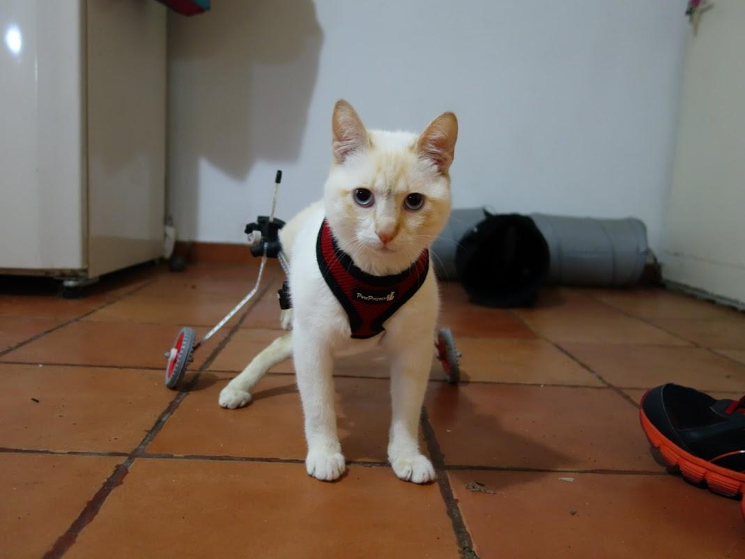 Paralyzed Kitten Walks Again Thanks to a 3D Printed