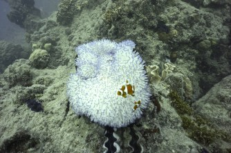 Bleached anemone