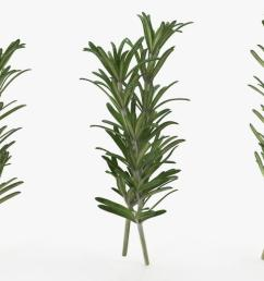 fresh rosemary 3d model [ 1304 x 705 Pixel ]