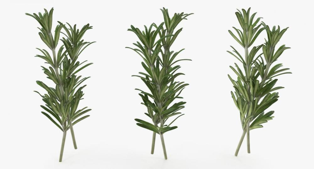 medium resolution of fresh rosemary 3d model
