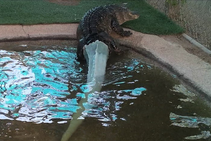 An alligator with a 3D printed tail