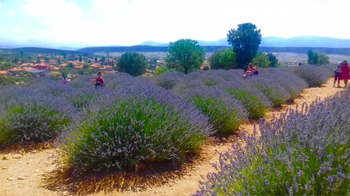 we love mahmutlar lavender field trip10