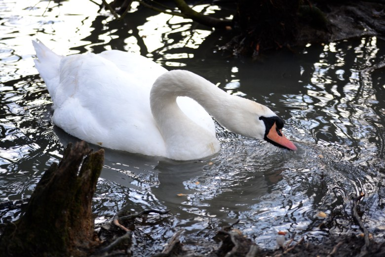 WILDFOWL AND SWANS AT COSMESTON LAKES, 3 EYED RAVEN ULTIMATE GUIDE TO BARRY