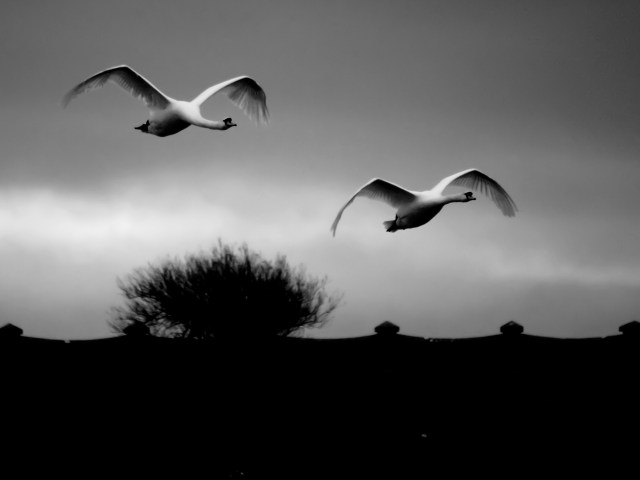 Flying swans, art photo prints for sale