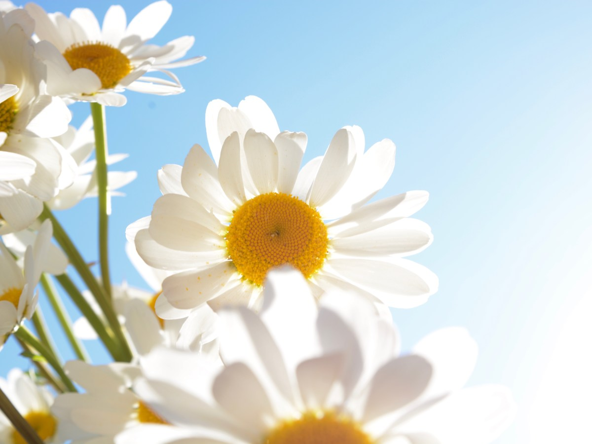 Daisies in the sun prints for sale