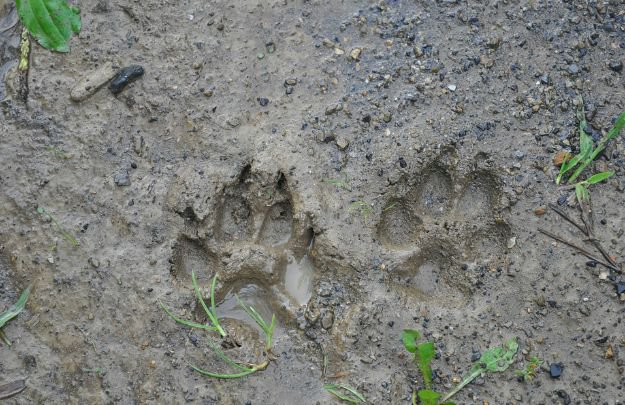 Learn to Read Animal Tracks   Native American Survival   What You Can Learn From These Experts