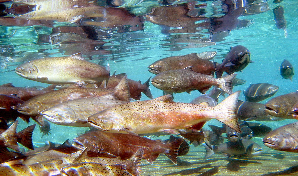 The Wild Genomes program has funded a project to generate a genome catalog of genomic diversity in Chinook salmon.