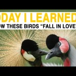 TIL: How to Play Matchmaker for Beautiful, Endangered Birds   Today I Learned