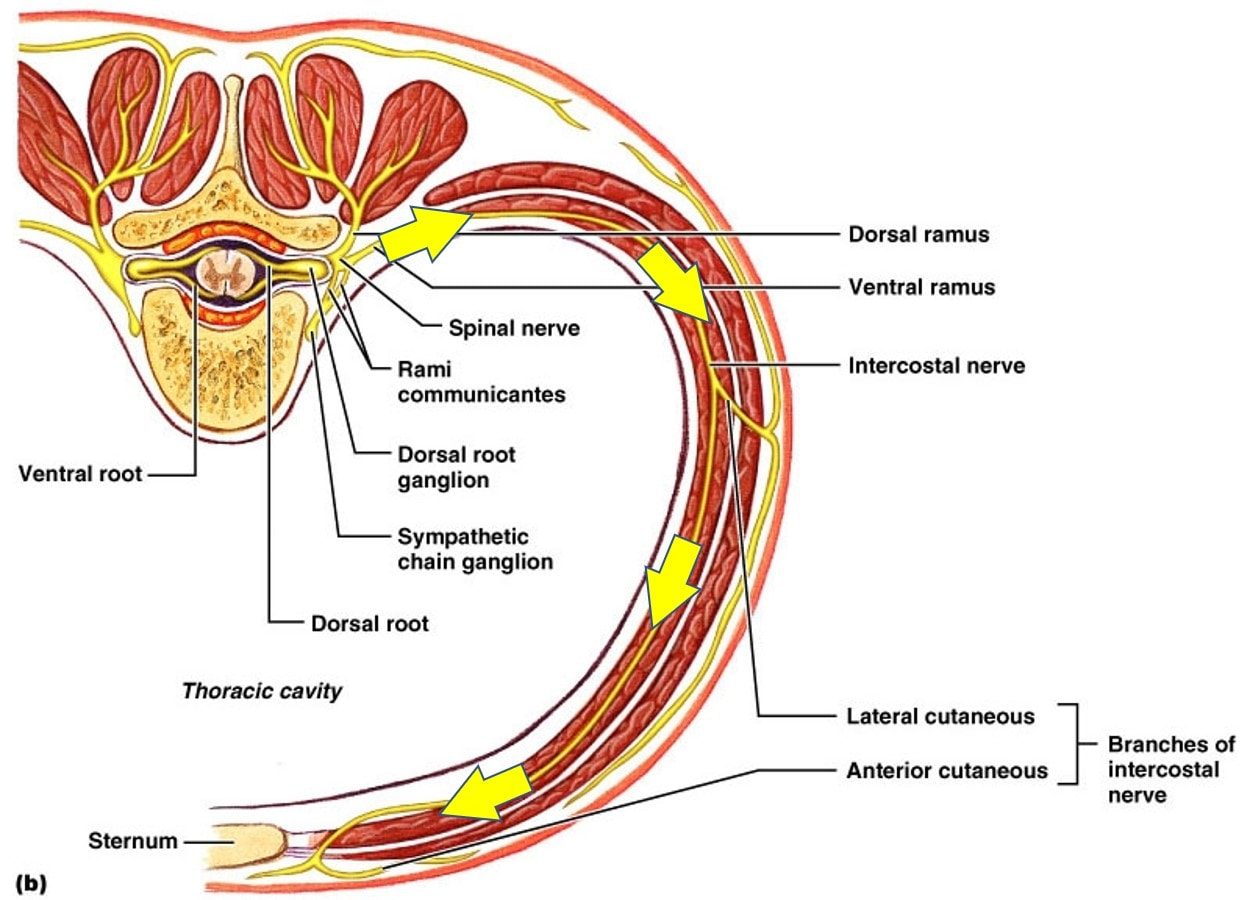 hight resolution of thoracic spinal nerve causing stomach pain